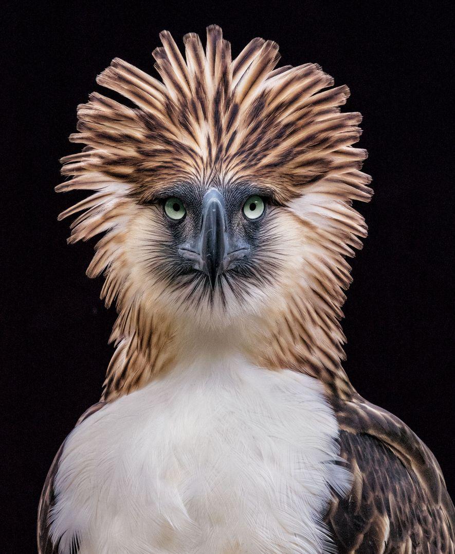 Águia-filipina, Pithecophaga jefferyi.