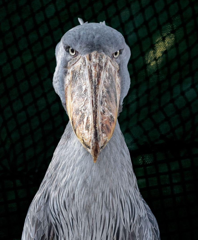 Bico-de-tamanco, Balaeniceps rex.