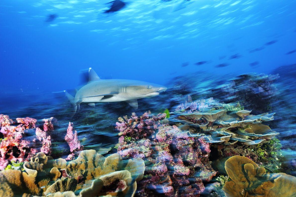 Um tubarão-de-pontas-brancas-de-recife nada sobre um coral regenerado na Área Protegida das Ilhas Phoenix, na República de ...