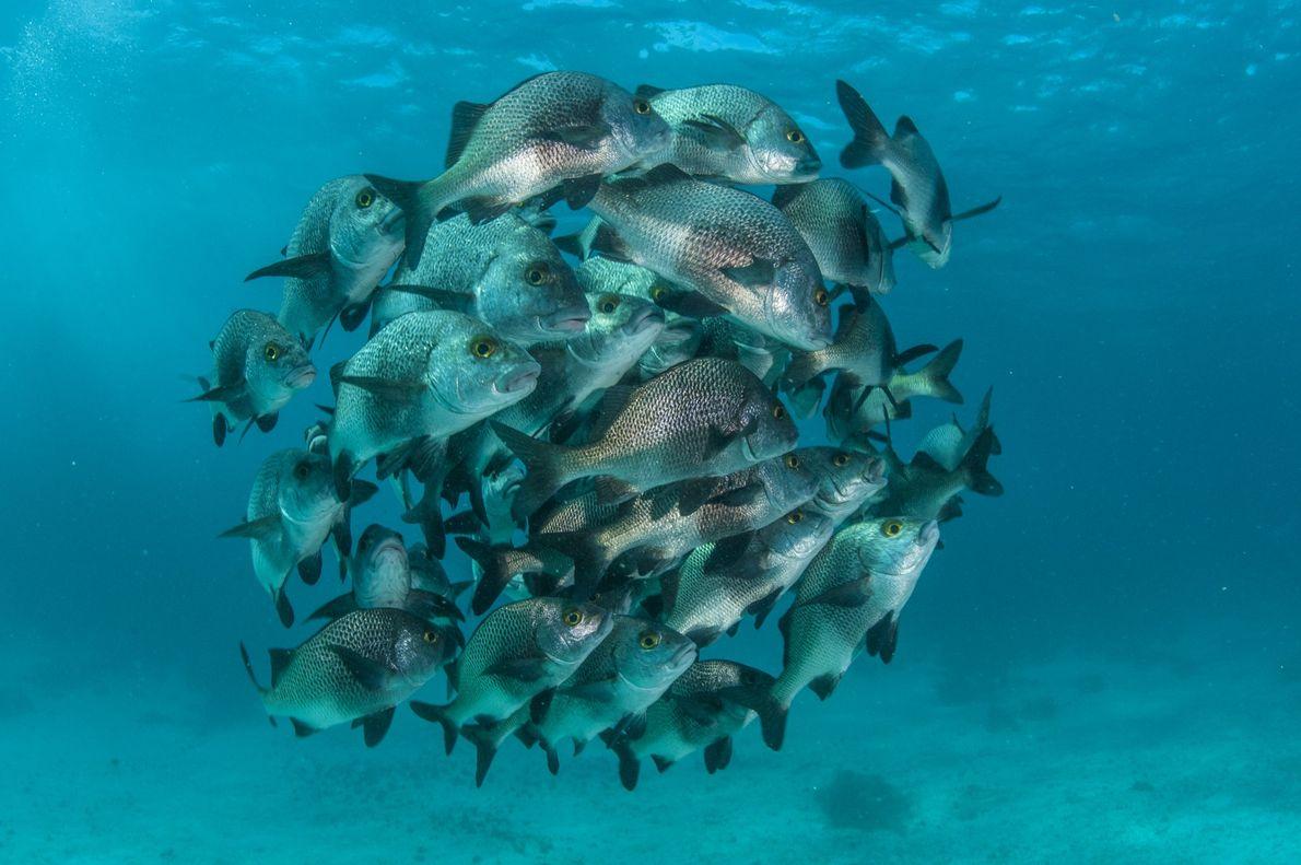 Um cardume de sargos-de-beiço ao largo do recife da Reserva Marinha de Hol Chan, a mais ...
