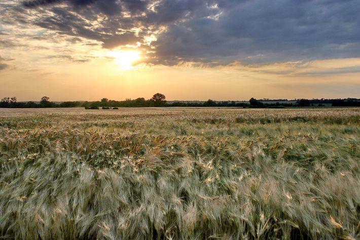 """Um campo de cevada na região de Uckermark, conhecida como o """"espigueiro"""" de Brandeburgo, brilha em ..."""