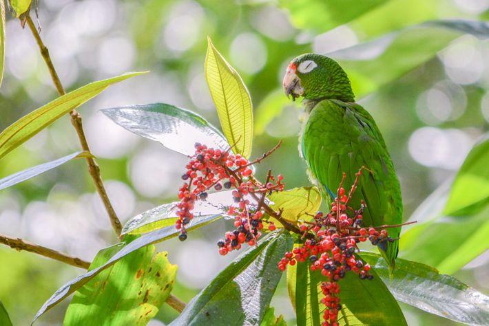 Um papagaio-de-porto-rico que foi recentemente libertado na natureza alimenta-se de plantas Henriettea. Atualmente, só restam pouco ...