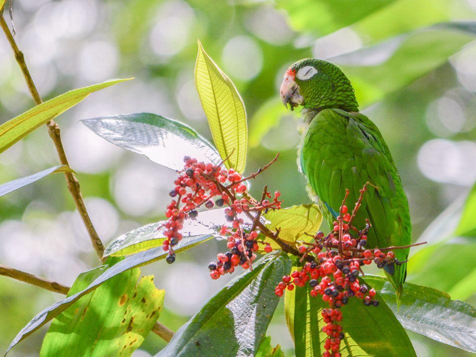 Estes Papagaios Desenvolveram Novos Dialetos em Cativeiro. Será que os Seus Parentes Selvagens os Conseguem Compreender?