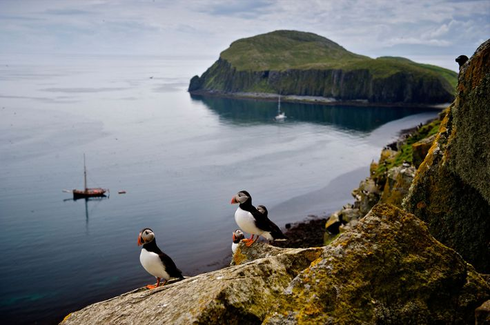 Imagem de papagaio-do-mar nas Ilhas Shiant