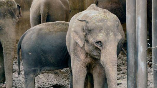 Elefantes em Cativeiro Podem Transmitir Tuberculose a Humanos – 'Uma Questão que Tem Sido Ignorada'