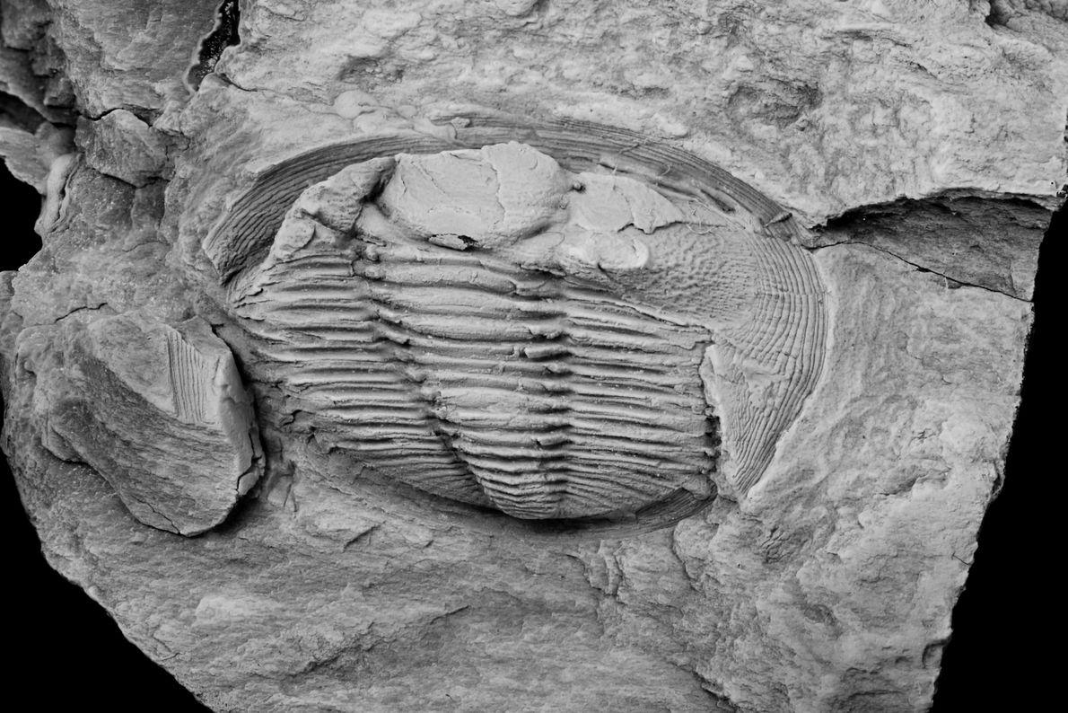 A trilobite Radnoria guyi tem cerca de 1 cm e é a mais antiga do género.