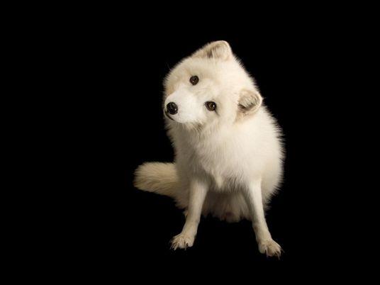 Raposa-do-Ártico