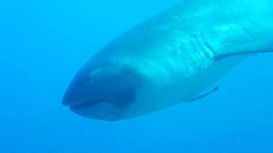 Tubarão-Boca-Grande Extremamente Raro Filmado em Vídeo