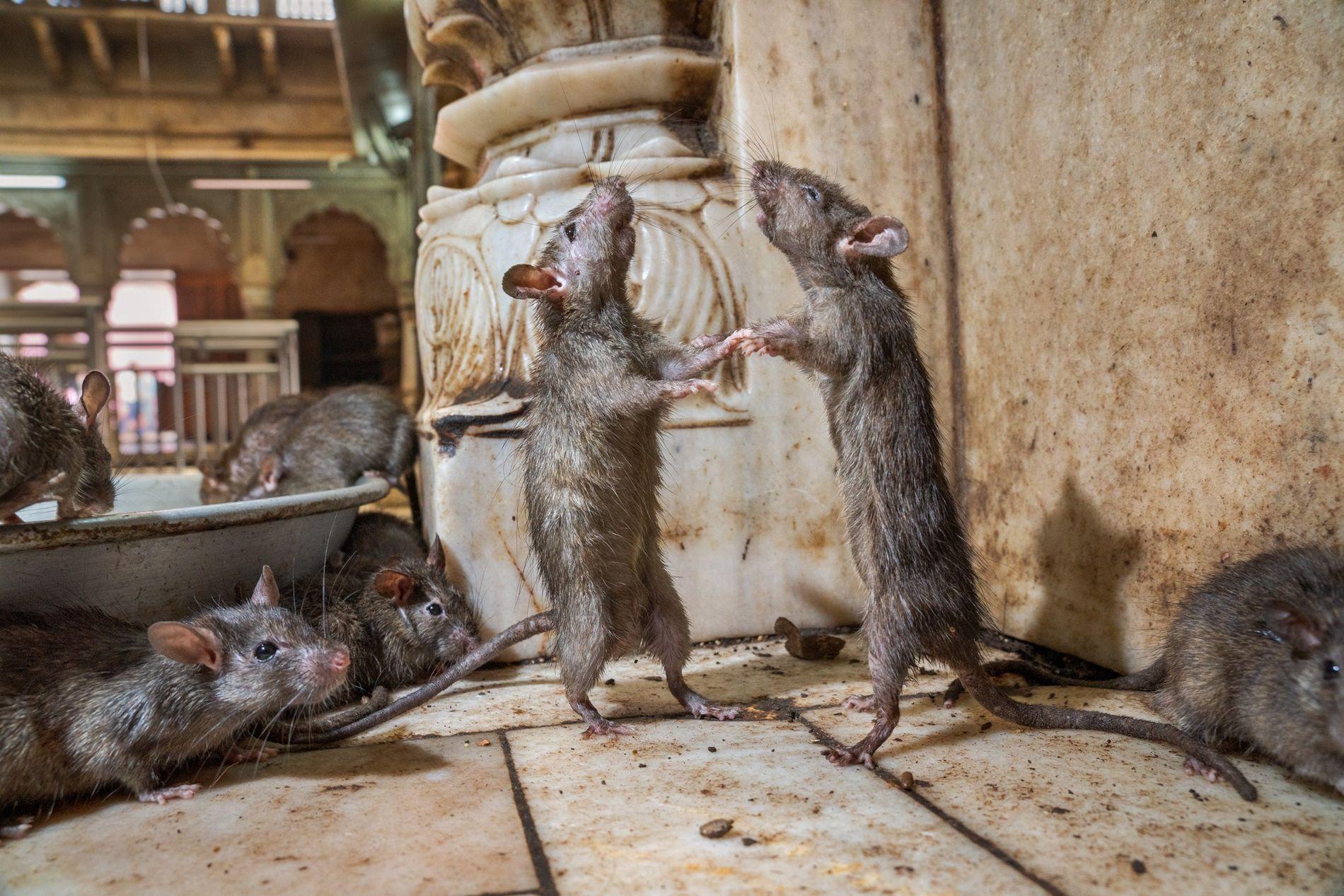 Dois ratos no templo Karni Mata, na Índia, tentam determinar qual é o dominante. Os ratos ...