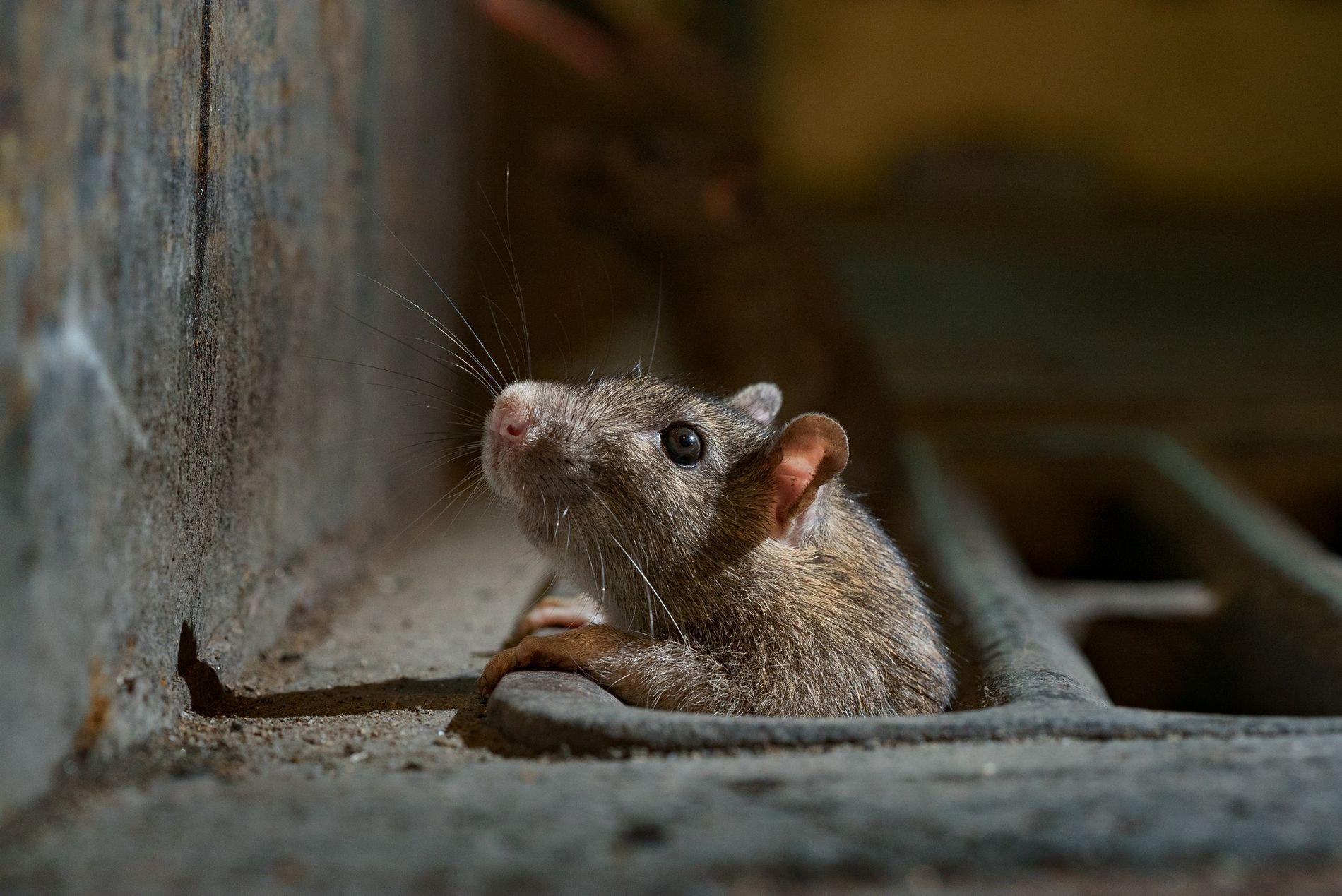 Há perigo? Um rato da cidade de Nova Iorque espreita por uma grelha de captação de ...