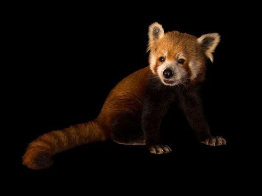 Panda-Vermelho
