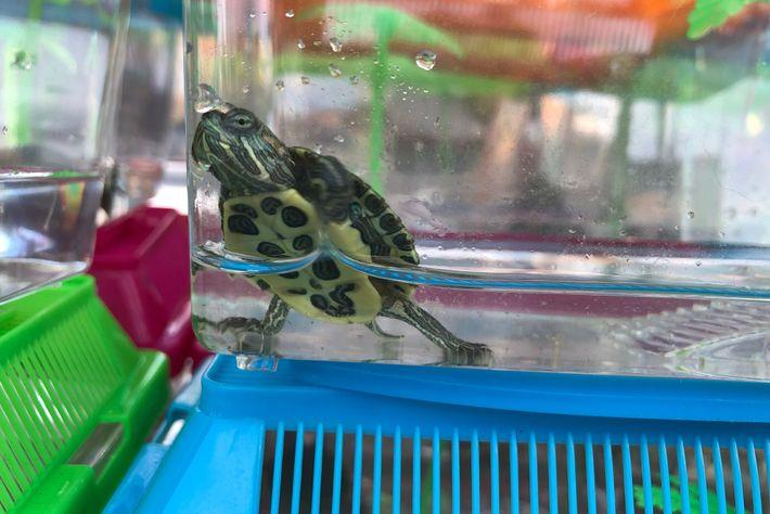 Os vendedores ambulantes vendem ilegalmente tartarugas-de-orelha-vermelha, como é o caso desta tartaruga à venda na Atlantic ...