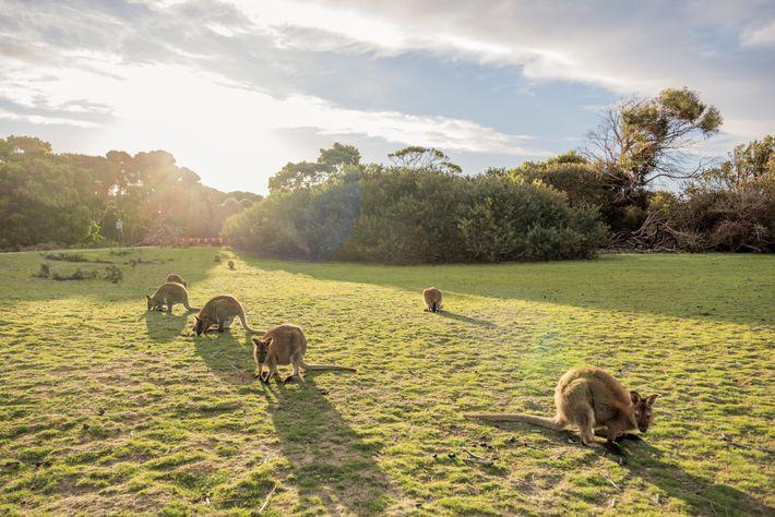 Os pequenos cangurus – wallaby – como os do Parque Nacional de Narawntapu, podem ficar expostos ...