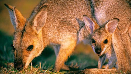 Os pequenos cangurus conhecidos por wallaby, quando nascem, são do tamanho de um feijão, e só ...