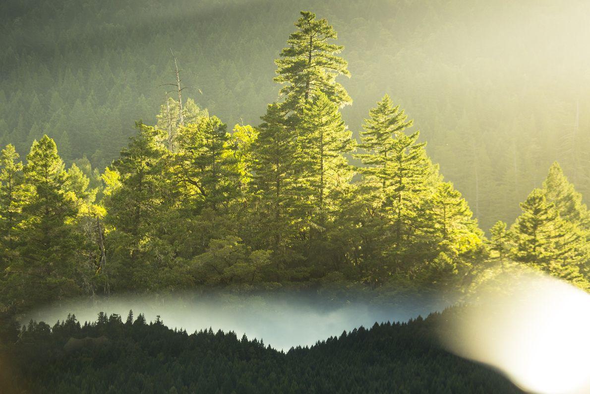 floresta primitiva de sequoias