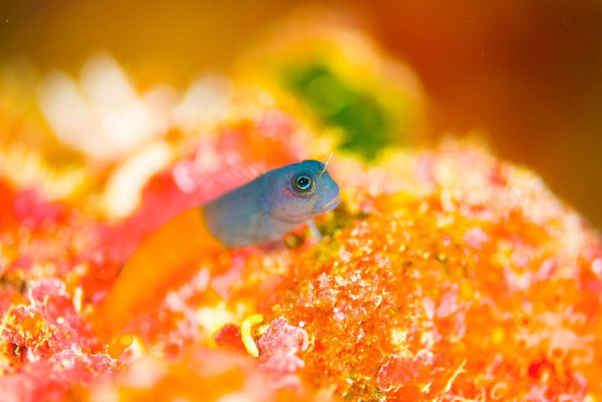 Esta imagem retrata um blénio bicolor na ilha de Ishigaki, no Japão.