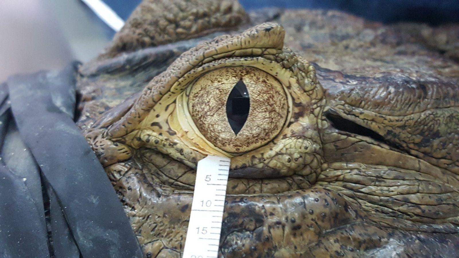 O jacaré Caiman latirostris consegue manter os olhos abertos sem piscar durante horas, inspirando esta nova ...