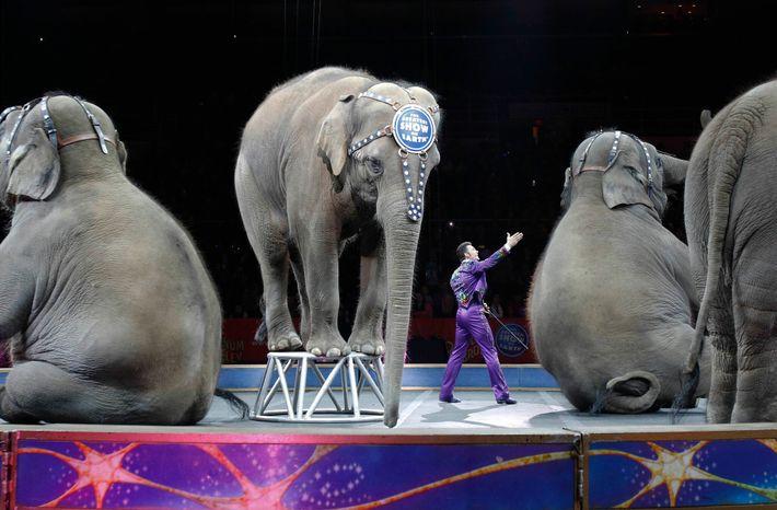 Os elefantes aposentados dos circos Ringling Bros. e Barnum & Bailey, aqui retratados durante o seu ...