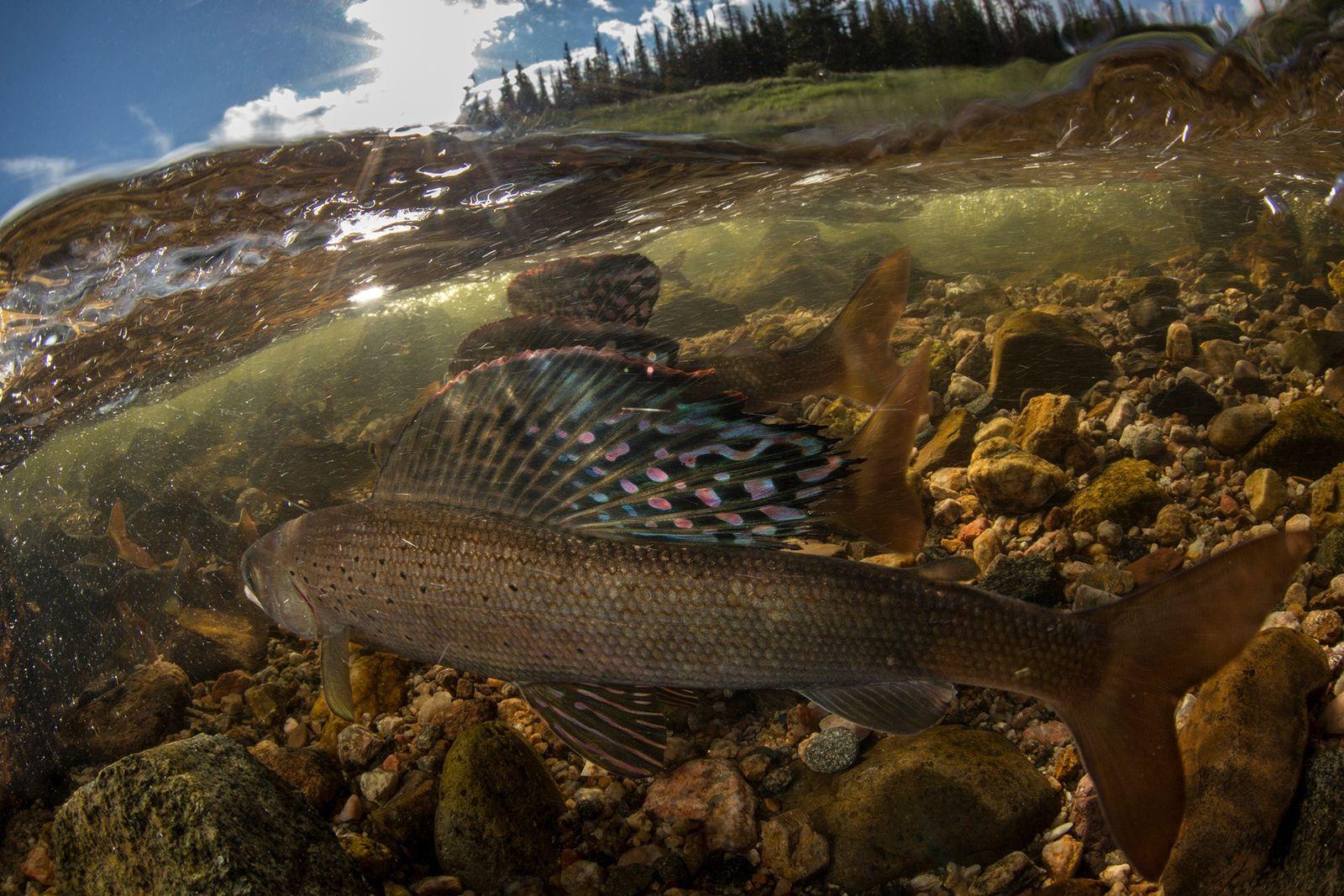 peixe sombra