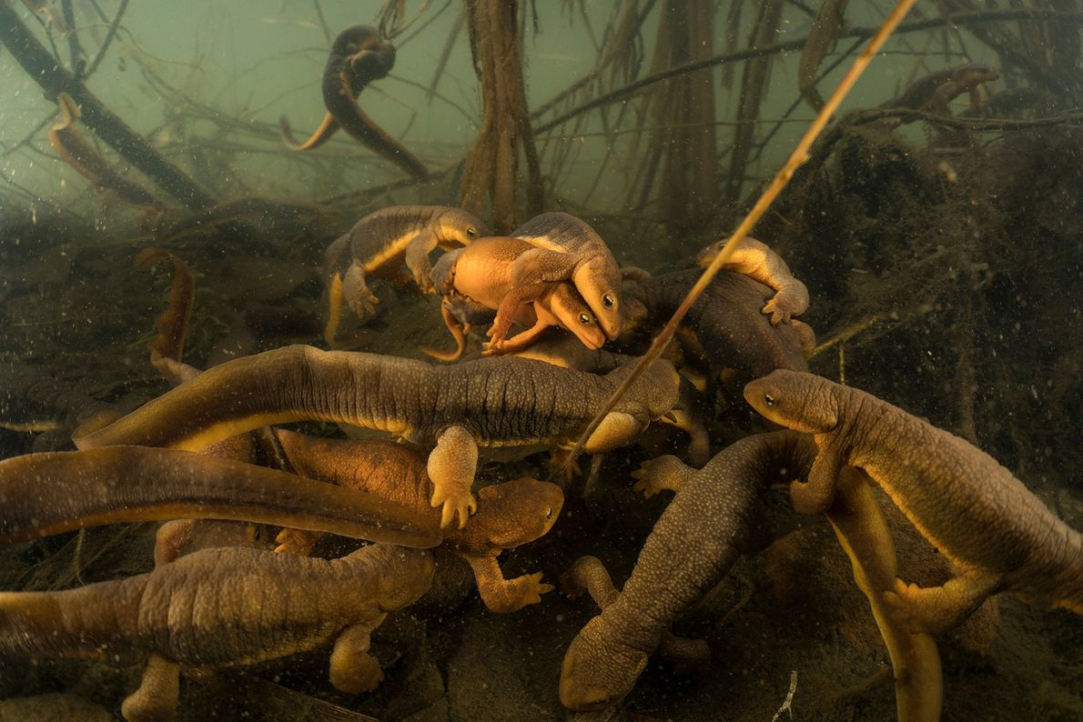 Todos os invernos, os tritões visitam o mesmo lago, no rio Willamette, no Oregon, para acasalar. ...
