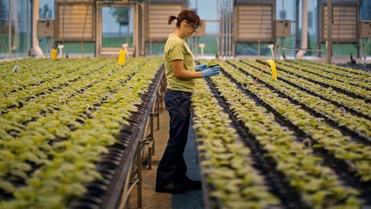 As próximas vacinas poderão vir a ser cultivadas em plantas de tabaco