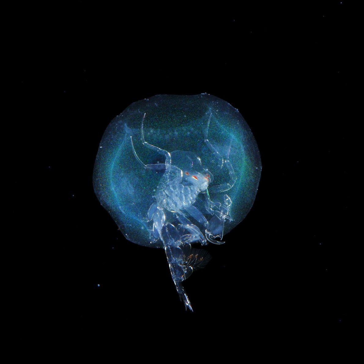 Phronima. um tipo de amphipoda de águas profundas