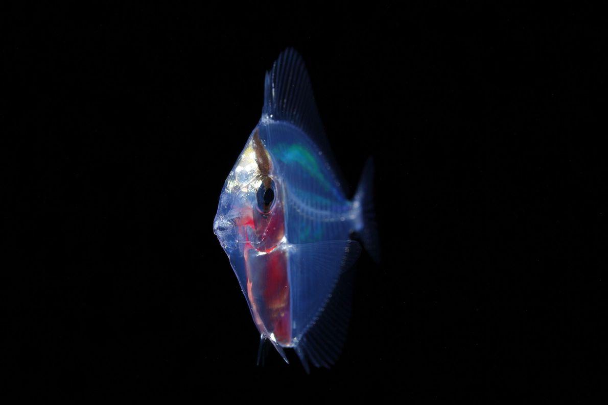 Um jovem peixe Acanthuridae