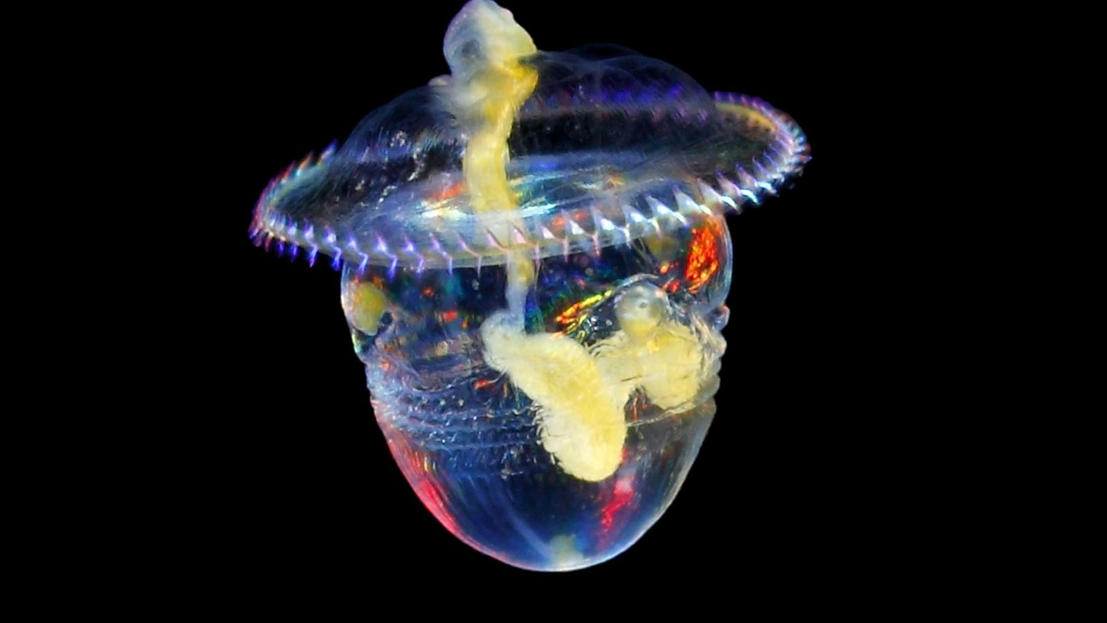 Uma larva de uma sipuncula flutua na água