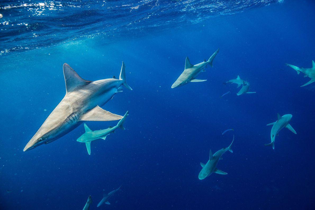 TUBARÃO-CORRE-COSTA, Carcharhinus plumbeus.