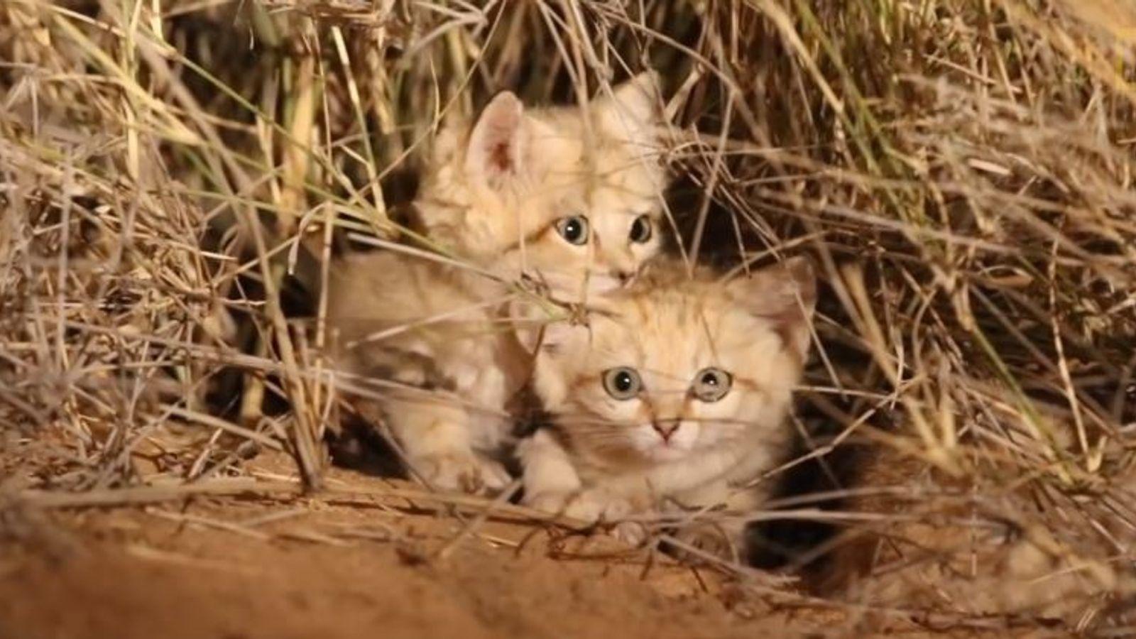 Gatos de areia raros.