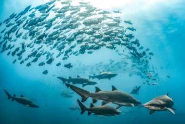Tubarões-touro e peixes Chaetodipterus faber nadam em águas claras sobre um naufrágio na Carolina do Norte.