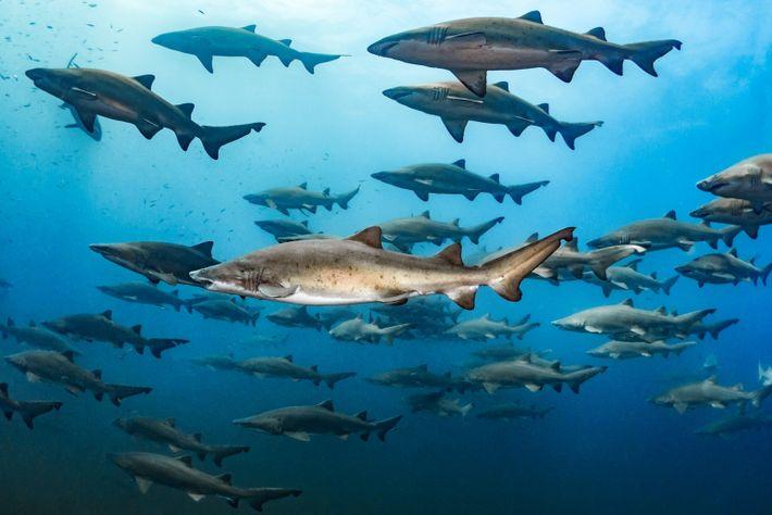 Tubarões-touro reunidos sobre uma embarcação naufragada na costa da Carolina do Norte.