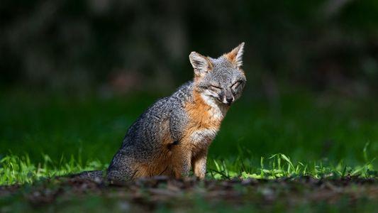 A História Animadora das Pequenas Raposas-das-ilhas que Estiveram Perto da Extinção