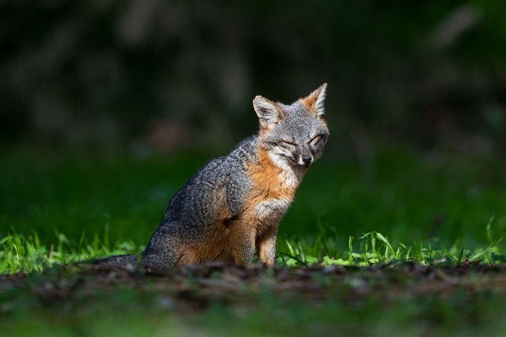 Uma raposa-das-ilhas desfruta do sol da tarde. Com o tamanho de gatos domésticos, as raposas-das-ilhas vivem ...