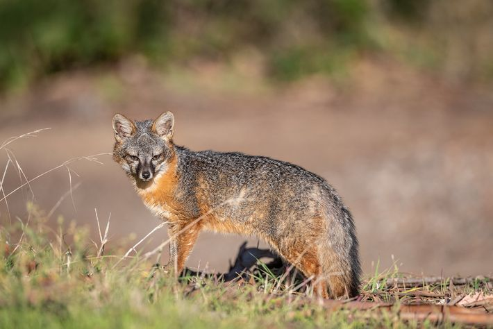 Estas pequenas raposas são um exemplo do nanismo insular, em que uma espécie evolui para ser mais ...