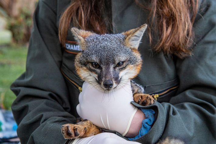 Uma raposa-das-ilhas ao colo da bióloga Juliann Schamel, antes de ser examinada e vacinada perto de ...