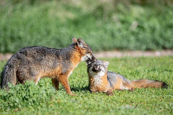 Uma raposa-das-ilhas a ser cuidada por outra raposa, perto de um parque nacional, na ilha de ...