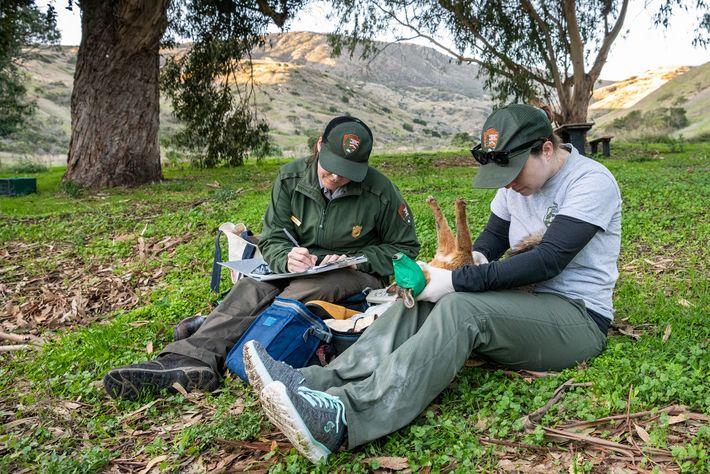 Laura Shaskey, chefe do projeto de raposas do Parque Nacional das Ilhas do Canal, tira apontamentos, ...