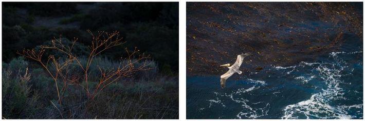 Esquerda: Rebentos começam a surgir numa erva nativa perene rara, chamada trigo sarraceno da ilha, depois ...