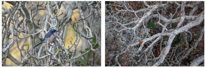 Esquerda: O Aphelocoma californica, pássaro que só se encontra na ilha de Santa Cruz, está entre ...
