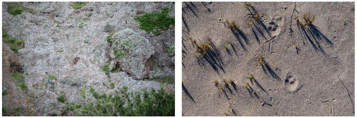 Esquerda: Uma raposa-das-ilhas numa encosta rochosa, perto de plantas em flor devido às chuvas de inverno, ...
