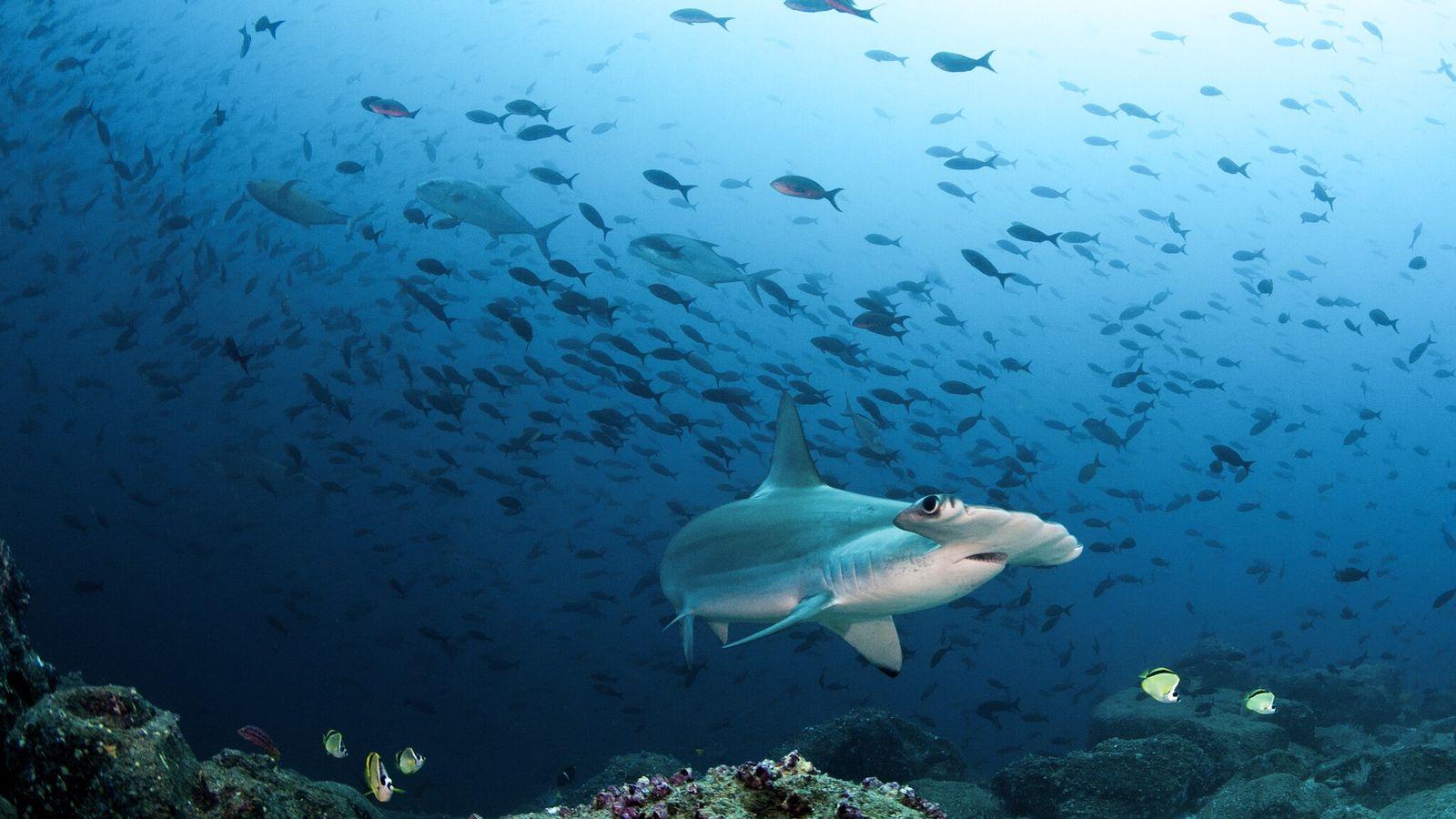 Um tubarão-martelo-recortado a nadar ao largo das Ilhas Galápagos. Este peixe está em perigo crítico de ...