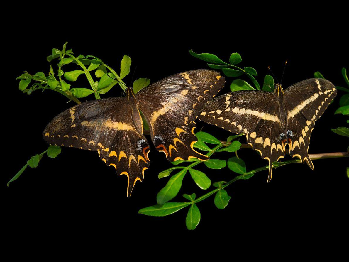 Heraclides aristodemus ponceanus (não foi avaliada) Em 2012, a perda de habitat desta borboleta, natural da Flórida, ...