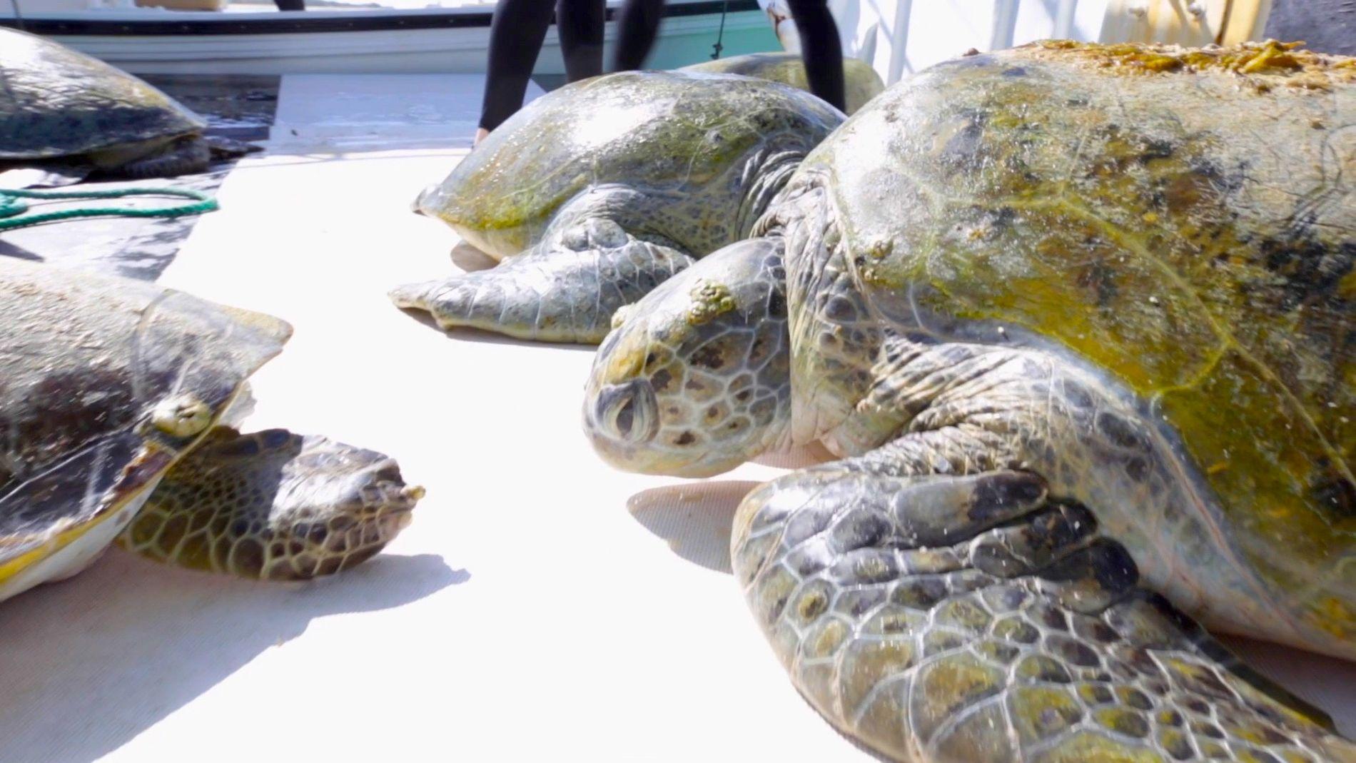 Cientistas Sinalizam Misteriosas Tartarugas-Verdes no Golfo Pérsico