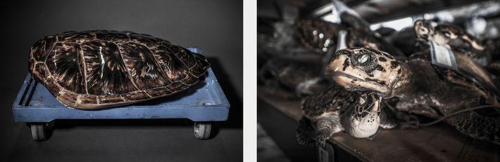 Esquerda: Apesar das tartarugas-de-pente estarem amplamente distribuídas, a UICN lista a espécie como estando em perigo ...