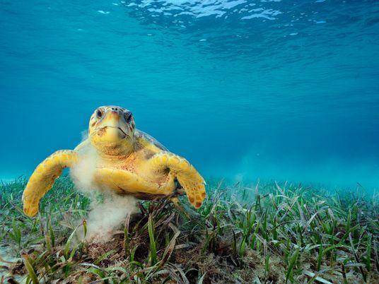 Tartarugas Marinhas Podem Transportar Mais de 100 Mil Animais Minúsculos nas Carapaças