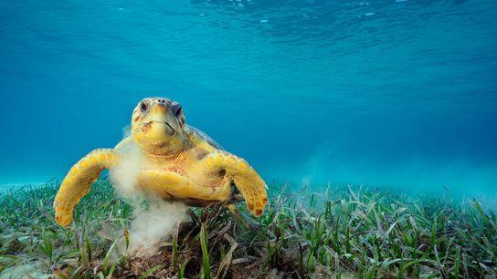 Uma tartaruga-marinha-comum perscruta ervas marinhas. Quando agitam o fundo do mar, as tartarugas podem dar boleia ...