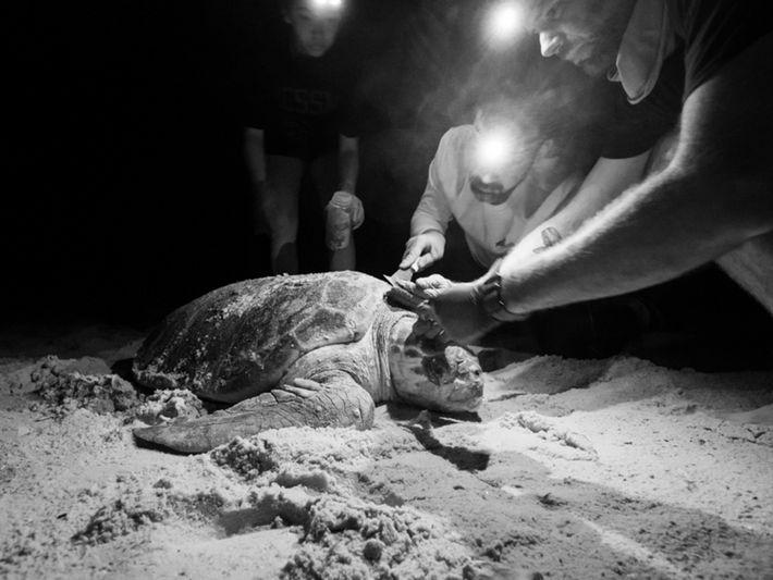 Os investigadores tentam remover pequenos animais da carapaça de uma tartaruga-marinha-comum. Esta fotografia foi tirada durante ...