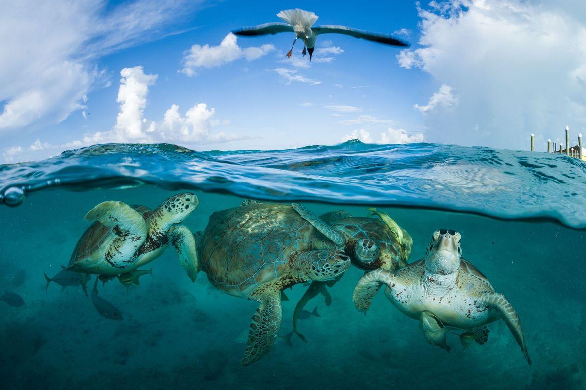 Tartarugas-verdes reunidas perto de uma doca nas Bahamas. Durante a época de Cristóvão Colombo, existiam tantas ...