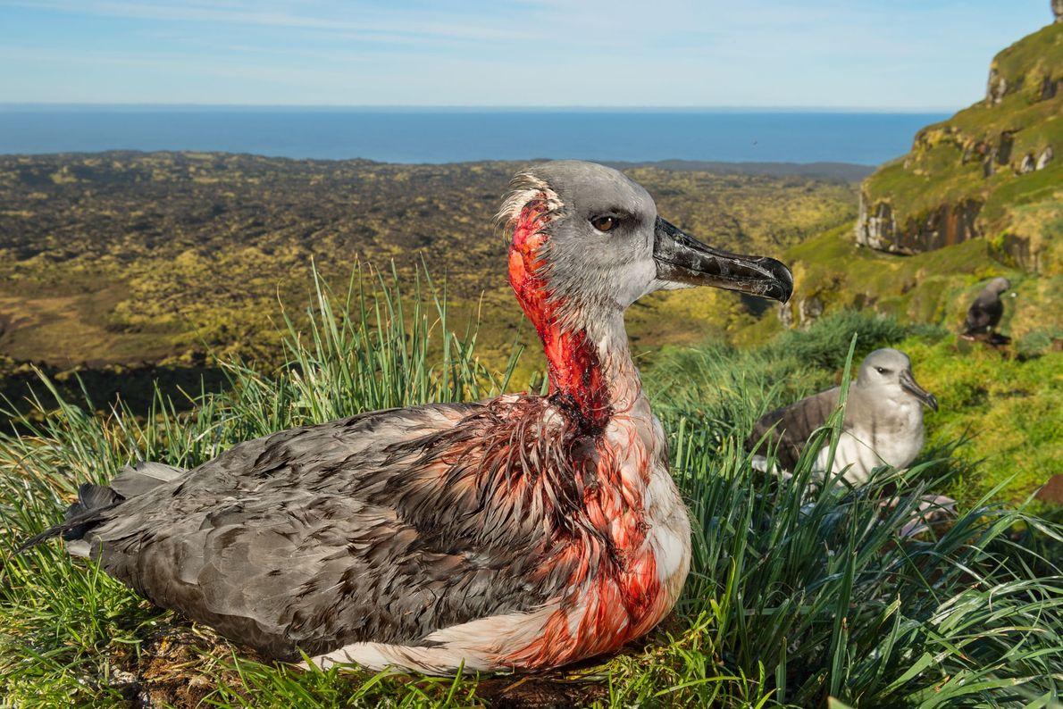 A cabeça esfolada de uma cria de albatroz-de-cabeça-cinzenta na ilha subantártica de Marion mostra de forma ...